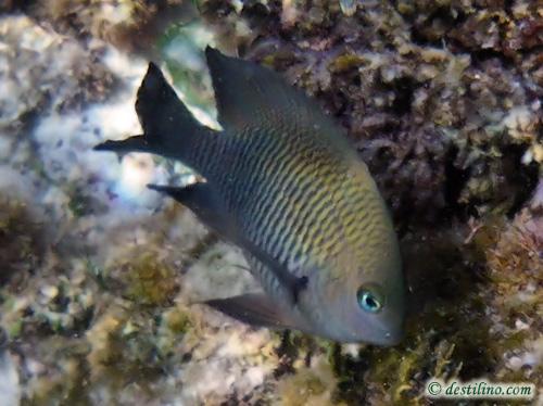 divepix - Longfin Damselfish
