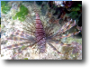 Turkey Lionfish